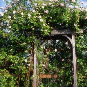rose-garden1